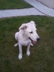 Znaleziono psa w Straszynie
